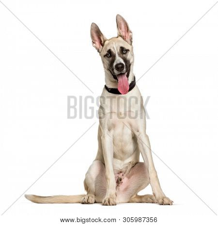 poster of Mixed-breed dog between a husky and a American Staffordshire Terrier sitting against white backgroun