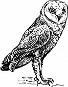 Owl tyto alba