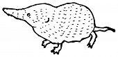 shrew illustration (raster version)