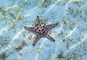 Orange Starfish Closeup On White Sand. Underwater Photo Of Star Fish In Tropical Seashore. Exotic Is poster