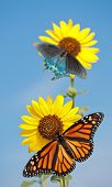 Wild sunflower, Helianthus annuus, against blue sky with a Monarch and Green Swallowtail butterfly feeding on the florets