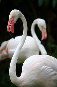 Flamencos en el Zoo de viaje de Asia