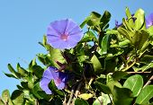 Goats Foot Creeper Flowers Or Seaside Morning Glory Flowers. (scientific Name: Ipomoea Pes-caprae)  poster