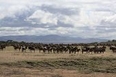 African Landscape With Wildebeest Herd