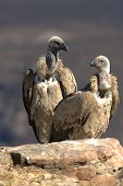 Pair Of Cape Vultures