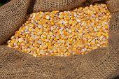 Corn Grains In Burlap Sack, Close-up. Dry Uncooked Corn Grains In Bag. poster