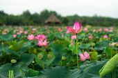 Royalty High Quality Free Photo Image Of A Pink Lotus Flower. Beauty Pink Lotus On Focus In Middle L poster