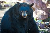 Black Bear Sitting In A Zoo With A Strong Gaze poster