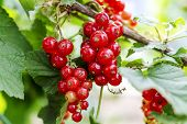 Red Currant Grows On A Bush In Garden. Ripe Red Currant Close-up As Background. Harvest The Ripe Ber poster