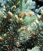 Pine Tree With New Small Pine Cones, Close-up Of Pine Needles And Cones poster