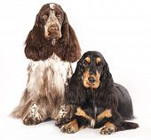 couple English Cocker Spaniel chocolate color, marble color