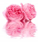 stock photo of pink roses  - The Fresh rose on a white background - JPG