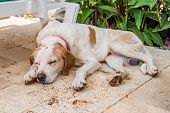 Domesticated Stray Dog Sleeping In The Garden On A Hot Summer Day. poster
