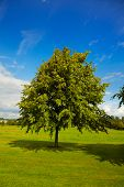 Lime Tree In Summer