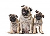 mother Pug and her puppies sitting against white background poster