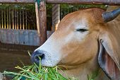 picture of feedlot  - Brown cow eating green grass in livestock - JPG