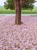 Pink Trumpet Tree