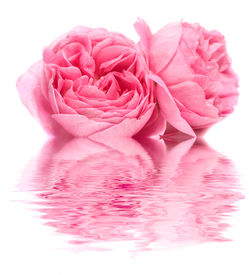 pic of pink rose  - The Fresh rose on a white background - JPG