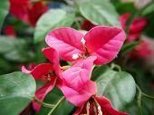 Bougainvillea bloem, roze kleur, Fake, gemaakt van stof