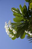 Tropical Flowers From Deciduous Tree, Plumeria