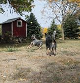 Blue Heeler Dogs Playing Ball
