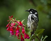 Honeyeater perching