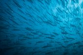 image of barracuda  - A huge school of barracuda swimming in the Gulf of California - JPG