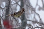Waxwing On A Branch