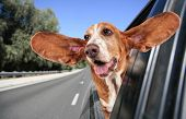 stock photo of licking  - a basset hound in a car - JPG