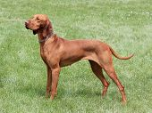 stock photo of vizsla  - HungarianShort - JPG