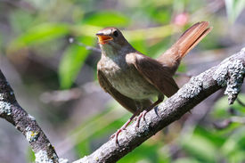 picture of nightingale  - Luscinia luscinia - JPG