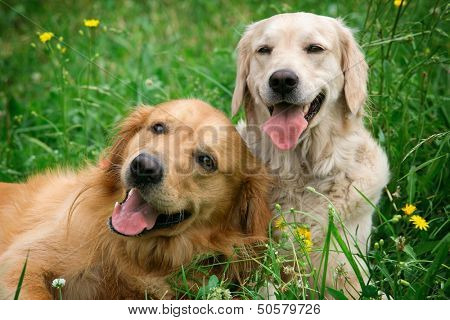 Portrait of two young dogs playing in the meadow poster