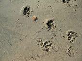 Dog prints across the sand