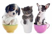 picture of blue tabby  - kitten and puppies in teacup in front of white background - JPG
