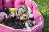 Yorkshire Terrier Puppy in a Pink Bed