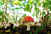Toxic Toadstool Mushroom