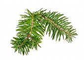 Christmas tree branch for decorate isolated over white