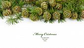 Larch cones evergreen pine tree  branch on a white background with copy space