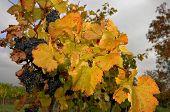Grapevine In Fall