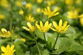image of celandine  - 3 blooming lesser celandine in the spring meadow - JPG