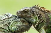 Green iguana on tree branch