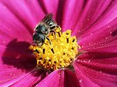 Solitary Bee on Cosmo Flower