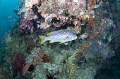 Diagonal-banded Sweetlips By Coral