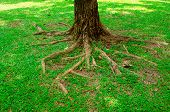stock photo of centenarian  - roots of tree above the ground and grass - JPG