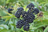 foto of elderberry  - some ripe elderberry on branch against the leaves