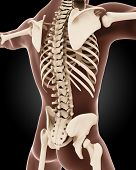 3D render of a male medical skeleton with a close up on the back