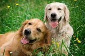 stock photo of puppy dog face  - Portrait of two young dogs playing in the meadow - JPG