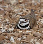 stock photo of killdeer  - Killdeer laying on its nest in rocks - JPG