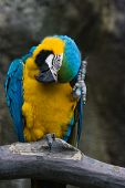 Yellow And Blue Parrot Scratching Head