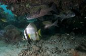 stock photo of raja  - Pinnate Spadefish  - JPG